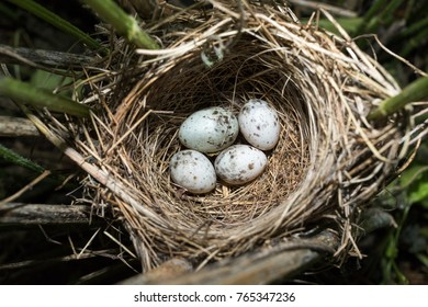 Acrocephalus palustris. The nest of the Marsh Warbler in nature. Common Cuckoo (Cuculus canorus). Russia, the Ryazan region (Ryazanskaya oblast), the Pronsky District, Denisovo.