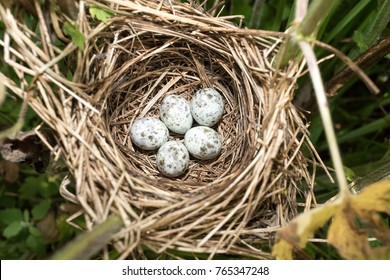 Acrocephalus palustris. The nest of the Marsh Warbler in nature. Russia
