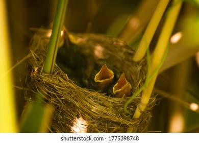 Acrocephalus warblers chicks in the nest. Marsh warbler or reed warbler chicks in the nest awaiting food
