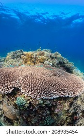 Acropora and fish on a healthy tropical coral reef