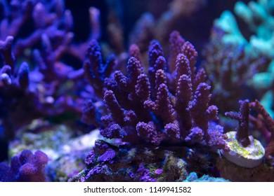 Acropora, SPS hard coral