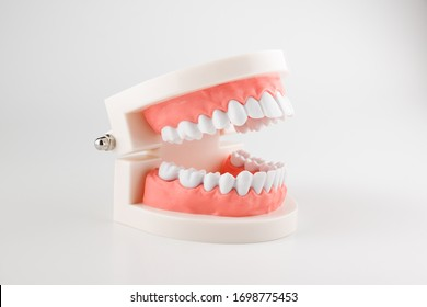 acrylic human jaw model for studying oral hygiene