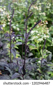 Actaea simplex Atropurpurea Brunette growing in the park with astrantia, beautiful ornamental garden plant with burgundy foliage