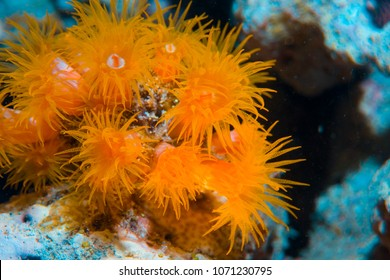 Actinia. Beautiful and poisonous creatures and plants of the underwater world. The Great Barrier Reef.
