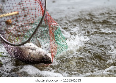 action of Barramundi or asian sea bass  comes to the landing net