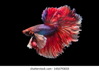 Action of Fighting fish on black background.
