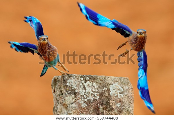 Action flight scene with two birds. Rollers from Sri Lanka, Asia. Nice colorful light blue birds Indian Rollers flying above stone with orange background.