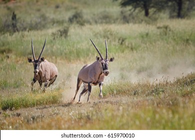 Action photo, Gemsbok, Oryx gazella, dominant male chasing oponent after fight for dominance with bloody traces on its body. Mating season, Kgalagadi transfrontier park, Kalahari, South Africa.