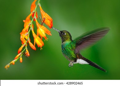 Action scene with hummingbird Tourmaline Sunangel, eating nectar from beautiful yellow flower in Ecuador.