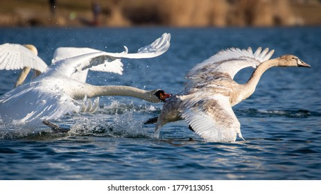 Action shot of fighting swan