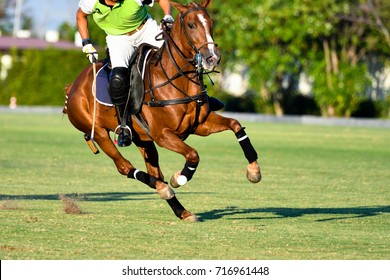 Action Shot Of the Polo Player, Playing Polo Horse During the Games