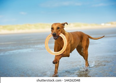Active athletic dog puppy rhodesian ridgeback running at the sea with frisbee