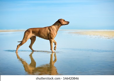 Active athletic dog puppy running at the sea