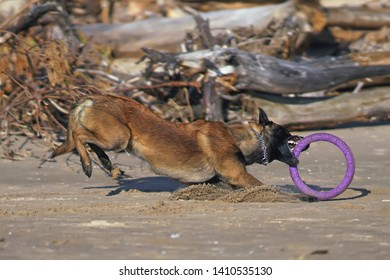 Active Belgian Shepherd dog Malinois playing with a puller ring toy running on a beach