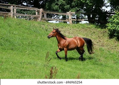 active brown horse on a paddock in the sunshine