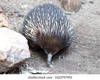 Active Busy Short-Beaked Echidna Energetically Searching for Nourishment.
