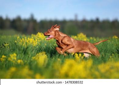 Active dog Vizsla running on the grass