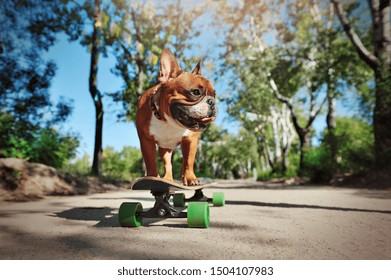 Active french bulldog skating in the park