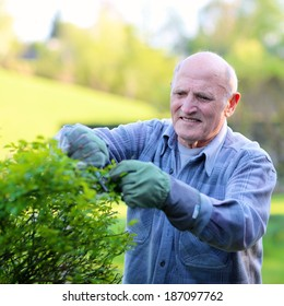 Active happy senior man working in the garden cutting rose bushes in front of the house on a sunny spring or summer day