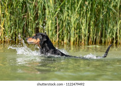 Active and healthy senior purebred black and tan German Pinscher swimming in Lake Constance, joyfully making big splashed. Low angle shot from within the lake.