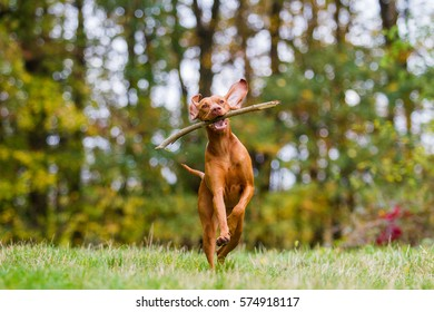 Active Hungarian Vizsla dog running outdoors with a wooden stick in its mouth