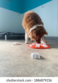 Active smart senior purebred red and white colored Australian Shepherd dog engaged with brain game scent work puzzle feeder in colorful suite at canine enrichment center with natural light shining in