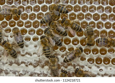 Active work of the team of bees in the hive. Brought from nectar of flowers into honey bees transform.
