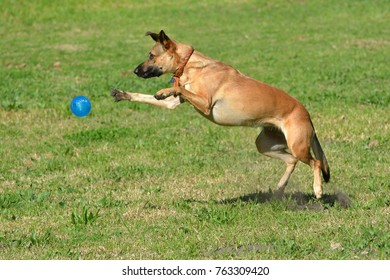 Active young big dog jumping and playing with a blue ball in a canine park outdoors.