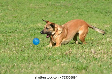 Active young dog playing with a blue ball in a canine park outdoors.