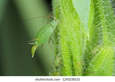 Acyrthosiphon pisum commonly known as the pea aphid or as the green dolphin, pea louse and clover louse. It is a sap-sucking insect in the Aphididae family, pest of pea crops.