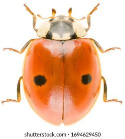 Adalia bipunctata, connue sous le nom de coccinelle à deux taches, coccinelle à deux taches ou dame à deux taches, est un scarabée de la famille des Coccinellidae. Vue dorsale d'oiseau à la coccinelle à deux places isolé sur fond blanc.