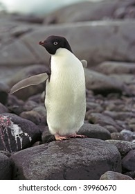 Adalie penguin on stone, Antarctic peninsula
