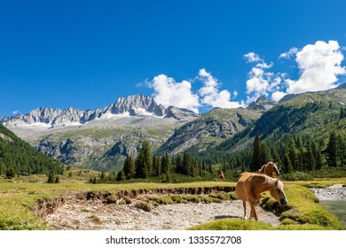Adamello and Brenta National Park with the mountain peak of the Care Alto (3462 m) and a herd of horses. Italian Alps, Trentino Alto Adige, Italy, Europe