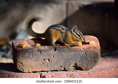 Adams Lake, British Columbia, Canada. September 9th 2014  Chipmunks (Tamias) are rodents of the family Sciuridae from the native name Odawa meaning 'red squirrel'. Found in North America and Asia.