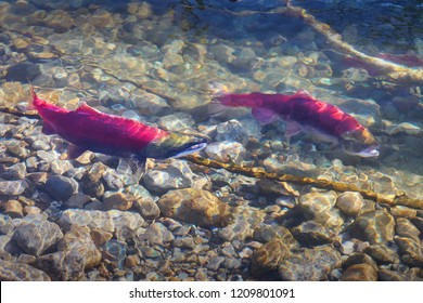 Adams River, Spawning Sockeye Salmon. Sockeye salmon gathering on the spawning beds in the Adams River, British Columbia, Canada.