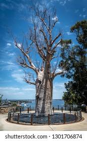 Adansonia digitata alias Baobab tree without leafs in Kingspark of Perth in Western Australia