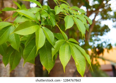 Adansonia digitata or baobab tree green leaves