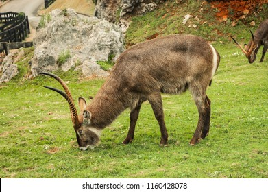 Addax grazing grass in the natural park of Cabarceno. Cantabria, Spain