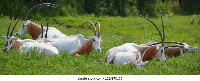 Addax (Addax nasomaculatus), also known as the white antelope and the screwhorn antelope, is an antelope of the genus Addax, that lives in the Sahara desert.