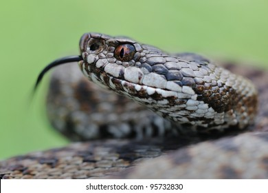 Adder portrait (Vipera berus). Wild fermale european adder and its forked tongue. Portrait. Lombardy Alps, Italy.