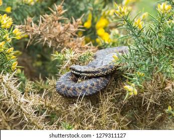 Adder Snake ( Vipera berus ) Laying on a Gorse Bush.