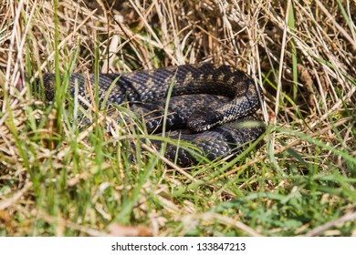 Adder, UK, basking in the morning sun