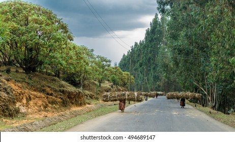 Addis Ababa, April 6: Women carry large stacks of dried twigs on their back and hike down Entoto mountain - April 6, 2016 Addis Ababa, Ethiopia