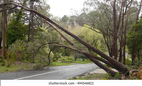 Adelaide Hills, Australia - October 4, 2016: Extreme weather conditions have caused a tree to fall on to power lines on Woorabinda Drive in Stirling, South Australia