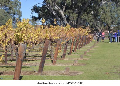 ADELAIDE - MAY 14 2019:Wine tour in a Vineyard in Barossa Valley. Barossa Valley is a renowned wine-producing region northeast of Adelaide in South Australia
