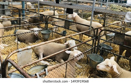 Adelaide, South Australia, August 31st 2019: Royal Adelaide Show - Ewes in pens awaiting judging.