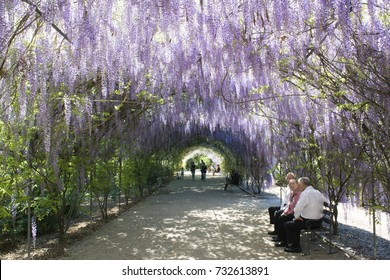 Adelaide, South Australia, Australia - October 8, 2017: People enjoying the shade of the Wisteria arbour in full bloom at the Adelaide Botanic Garden