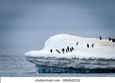 Adele penguin colony floats on top of moving iceberg
