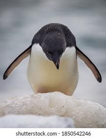 Adele penguin looking down preparing to jump