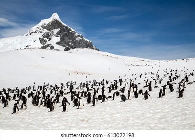Adele penguin rockery